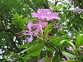 Rhododendron (2).JPG