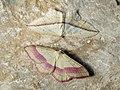 Rhodostrophia vibicaria - Common pink-barred - Пяденица краснополосая (40080371055).jpg