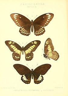 <i>Graphium fulleri</i> species of insect