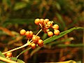 Ribes fasciculatum var. chinense 1.jpg