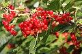 Ribes rubrum (red) Hedemora 03.jpg