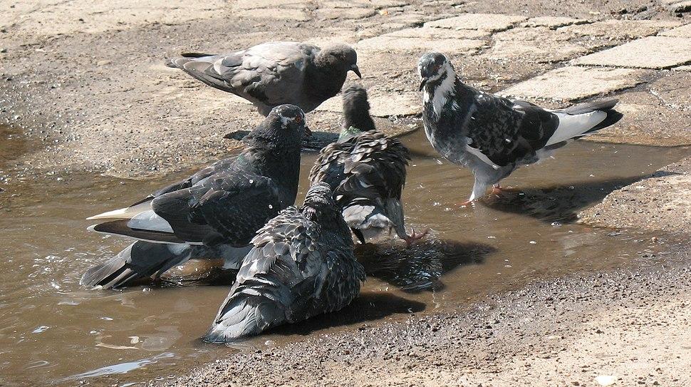 Rock Pigeons in 2010 Northern Hemisphere summer heat wave9
