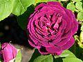 Rosa 'Souvenir du Docteur Jamain' J1.JPG