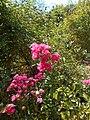 Rosa Lovely Fairy 2018-07-10 5583.jpg