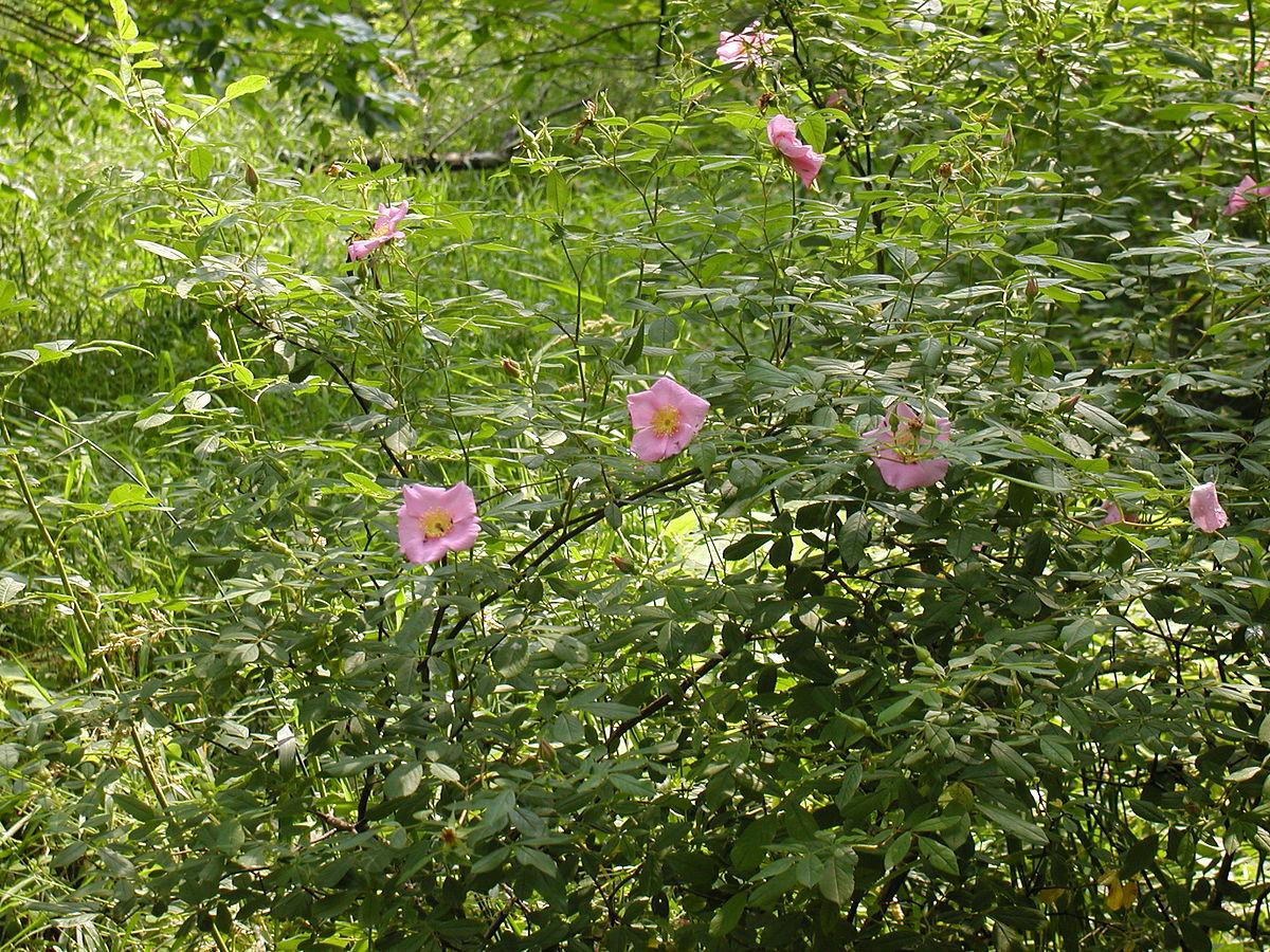 Rosa palustris - Wikipedia
