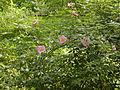 Rosa palustris flowering branch 001.JPG