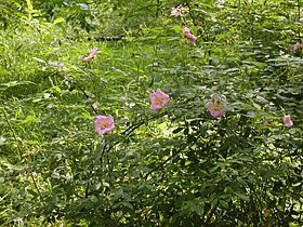 Rosa palustris flowering branch 001.JPG