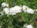 Rosa sp.187.jpg