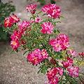 Rose, Christopher Columbus, バラ, クリストファー コロンブス, (15308820004).jpg
