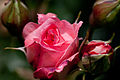 Rose, Lilibet - Flickr - nekonomania.jpg