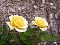 Rose, Little Lutia, バラ, リトル ルチア, (21636157521).jpg