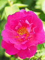 Rose, The Herbalist, バラ, ザ ハーバリスト, (14123377537).jpg