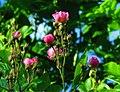 Rose Bushes Blossoming (9106089205).jpg