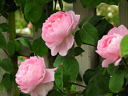Fragrant Climbing Roses Which Have Stood The Test Of Time