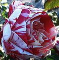 Roses Fens1 Oct2009.jpg