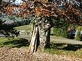 Rotbuche Stamm - panoramio.jpg