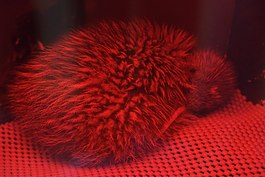 Rowi chick (Okarito Kiwi) in rearing facility at West Coast Wildlife Centre.jpg