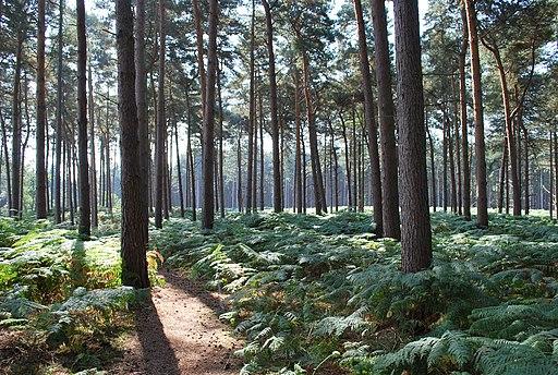 Rowney Warren Woods Near Chicksands - geograph.org.uk - 2581445