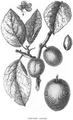 Rozier - Cours d'agriculture, tome 8, pl. 32, prune impériale violette.png