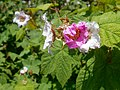 Rubus odoratus 2017-05-23 0537.jpg
