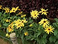 Rudbeckia from Lalbagh flower show Aug 2013 8280.JPG