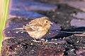 Ruddy-breasted Seedeater - Espiguero Canelillo (Sporophila minuta) (♀) (23519410936).jpg