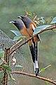 Rufous treepie (Dendrocitta vagabunda vagabunda) Jahalana 2.jpg