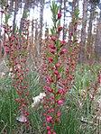 Ruhland, Grenzstr., Waldrand gegenüber Hausnr. 3, Mandelstrauch mit Blütenknospen, Frühling, 06.jpg
