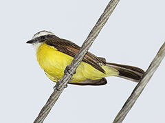 Rusty-margined Flycatcher.jpg