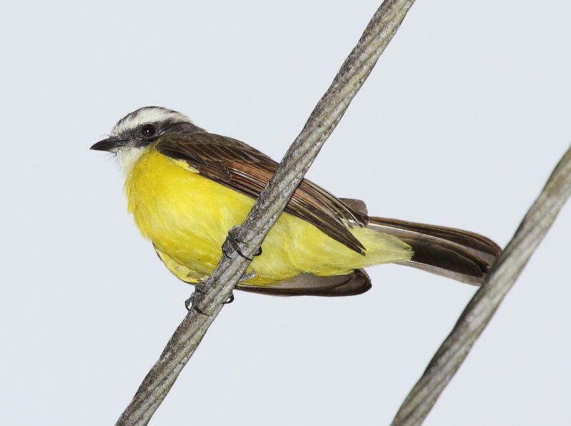 Ficheiro:Rusty-margined Flycatcher.jpg