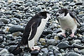 SGI-2016-South Georgia (Cooper Bay)–Chinstrap penguin (Pygoscelis Antarctica) 02.jpg