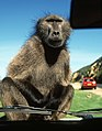 S Africa baboon JF.jpg