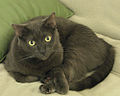 Sable Bombay Cat Rosie.jpg