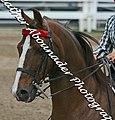 Saddlebred (2692094043).jpg