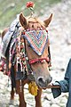 Saiful mulook horse.jpg