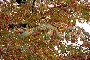 Horse-chestnut leaf miner - Leaf miner damage