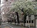 Sakura trees -03.jpg