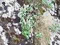 Salix arctica.jpg