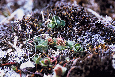 Salix arctica USFWS.jpg