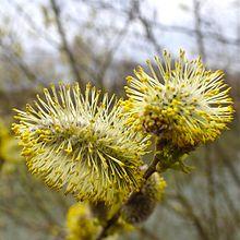 220px-Salix_caprea_FloraTrek_2013.jpg