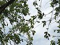 Salix warburgii2.jpg