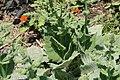 Salvia argentea Hobbits Foot 2zz.jpg
