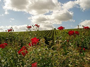 Sauvignon blanc - Vineyards in Sancerre will often plant roses around Sauvignon blanc vines as an early detector of powdery mildew.