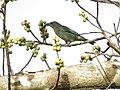 Sanhaçu-cinzento (Tangara sayaca - Linnaeus, 1766) se alimentando de frutos de figueira (Ficus sp. Moraceae) b.jpg