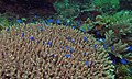 Sapphire Damsels (Pomacentrus pavo) (6085825948).jpg