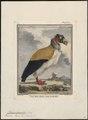Sarcoramphus papa - 1700-1880 - Print - Iconographia Zoologica - Special Collections University of Amsterdam - UBA01 IZ18100113.tif