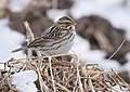 Savannah Sparrow (32249378136).jpg