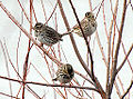Savannah Sparrows (8286928856).jpg