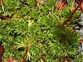 Saxifragaceae - Saxifraga grisebachii-2.JPG
