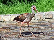 Scarlet Ibis | Franklin Park Zoo